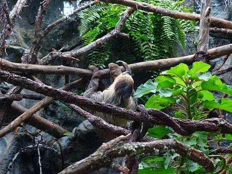 Sloth, Climb, Two-toed Sloth, Choloepus