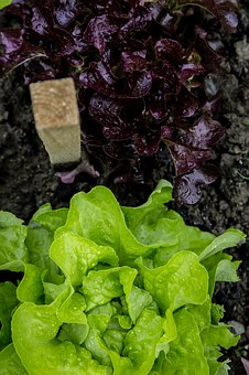 Salad, Head, Garden, Self Catering, Cultivation