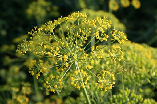 Dill, Spice, Yellow, Bloom