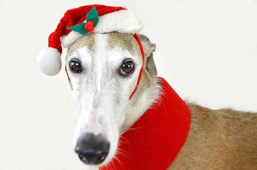 Dog, Animal, Greyhound, Spanish Greyhound, Christmas