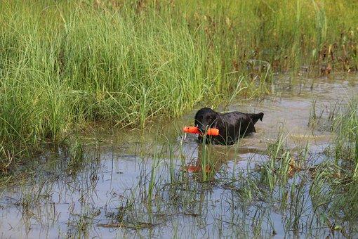 Dog, Pick Up Your, Retriever, Flat-coated Retriever