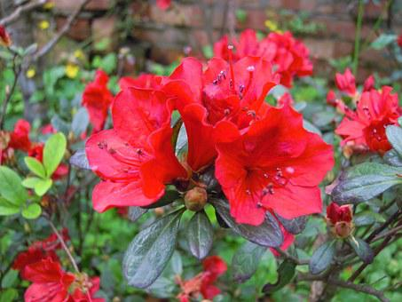 Du 鵑 Flowers, Red, Spring, Azaleas