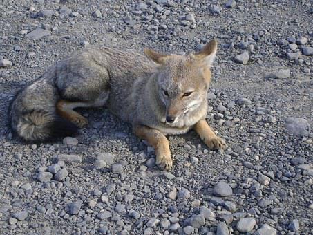Fox, Chilean Patagonia, Torres Del Paine, Nature