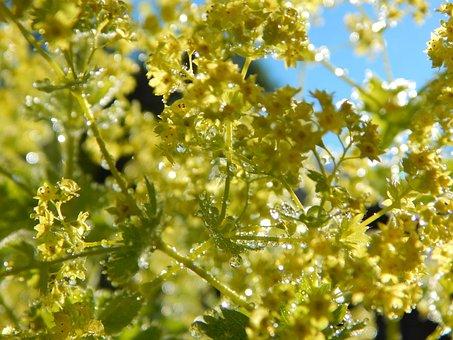 Frauenmantel, Flower, Bed, Garden, Nature, Bloom