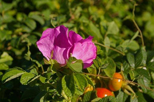 Wild Rose, Common Peony, Potato Rose, Rose Hip, Garden