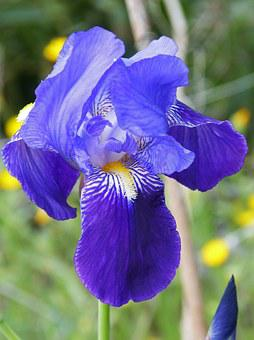 Iris Germanica, Blue Lily, Blue, Detail