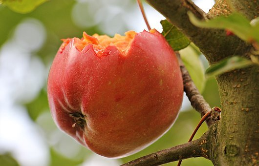 Apple, Apple Tree, Kernobstgewaechs, Fruit, Tree, Red