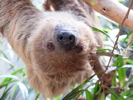 Sloth, Lazy, Mammal, South America, Jungle