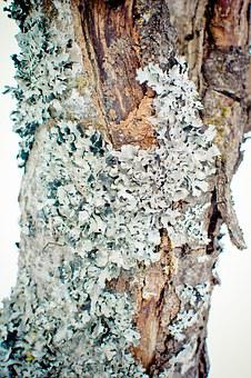 Parmelia Sulcata, Lichen, Leaf Braid, Tree Braid