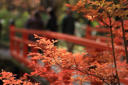 Autumnal Leaves, Maple, Autumn, Red, Redbridge