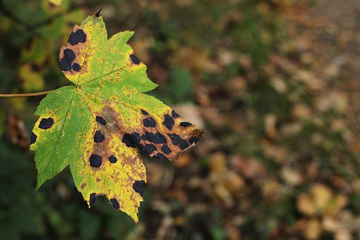 Leaf, Maple, Disease, Pest, Tar Stains