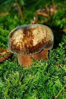 Porphyrellus Porphyrosporus, Mushroom, Forest Mushroom