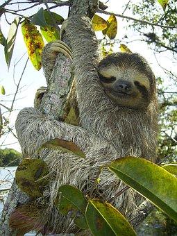 Pygmy Sloth, Sloth, Bradypus Pygmaeus, Three Toed Sloth