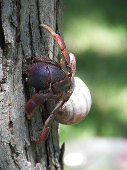 Hermit Crab, Crustacean, Hermit, Crab, Shell, Animal