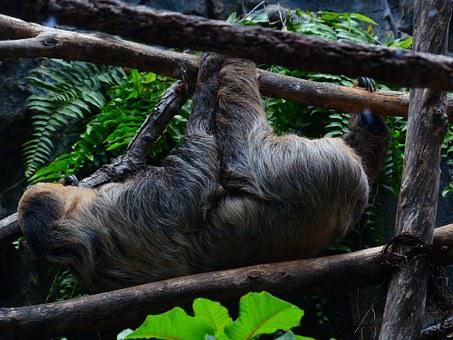 Sloth, Climb, Shimmy, Depend, Two-toed Sloth, Choloepus