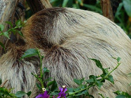 Sloth, Rest, Sleep, Two-toed Sloth, Choloepus