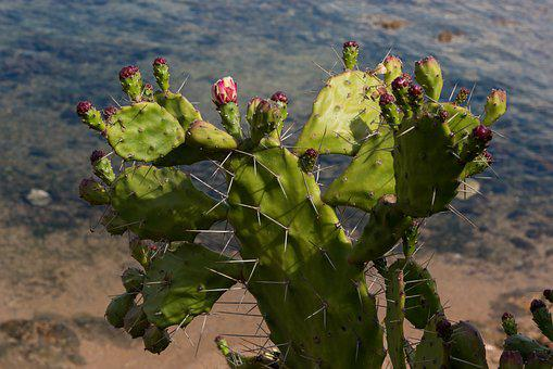 Prickly Pear, Plant, Succulent Plant, Plug, Thorns