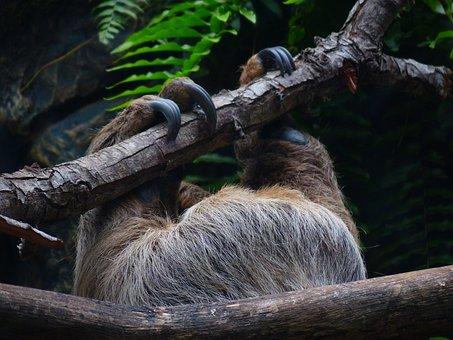 Sloth, Claw, Upside Down, Climb, Shimmy, Depend