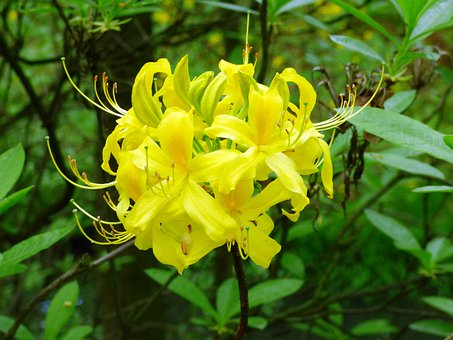 Rhododendron, Flower, Azalea, Azaleas, Yellow, Flowers