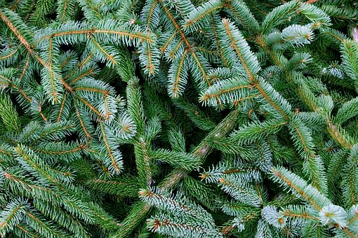 Pine, Wood, Evergreen, Branch, Nature, Plant