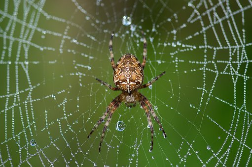 Araneus Diadematus, Spider, Canvas, Dew, Insect