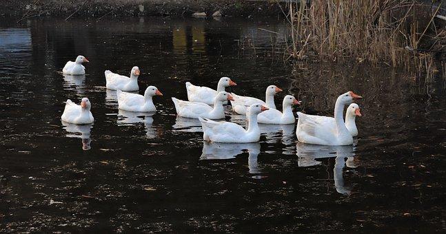 Goose, Duck, Animal, Lake, White, White Color, Birds