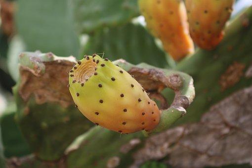Prickly Pear, Opuntia Ficus Indica, Cactus, Prickly