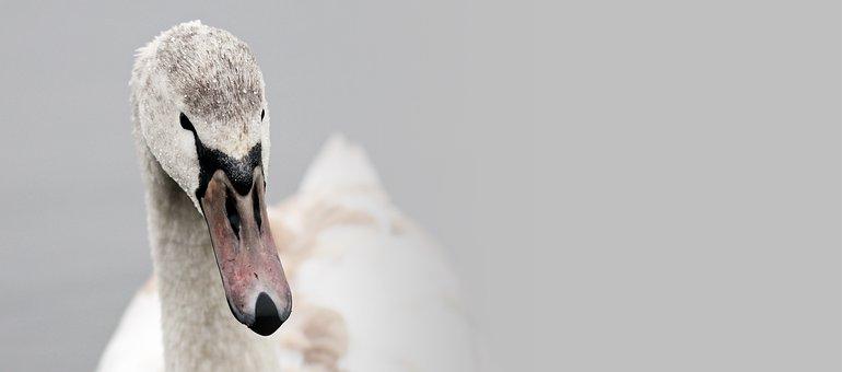 Swan, Proud To Be A Swan, Pride, Water Bird, Nature