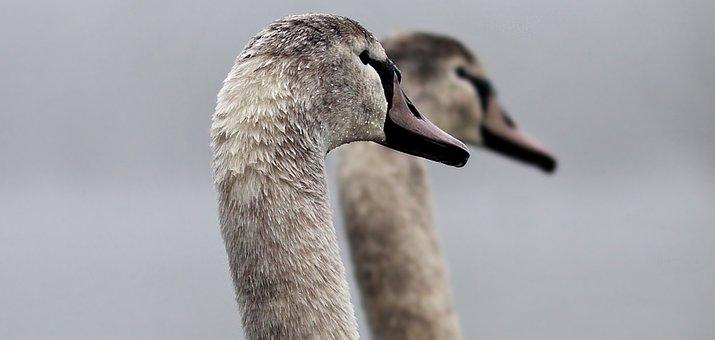 Swans, Proud Swans, Pride, Waterfowl, Nature, Birds