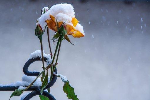Rose, Winter, Flowers, Cold, Ice, Anemone Blanda, Snow