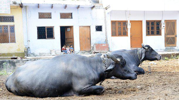 Sacred, Cows, Animal, India, Hinduism, Cattle