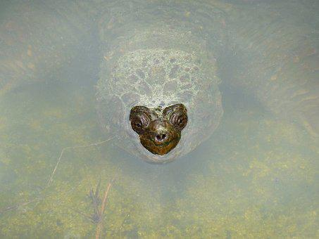Giant Tortoise, Water, Emerges, Nose Face, Animal