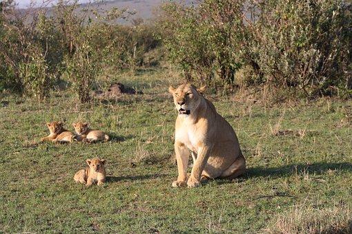 Lion, Family, Africa, Kenya, Safari, Cubs, Masai Mara