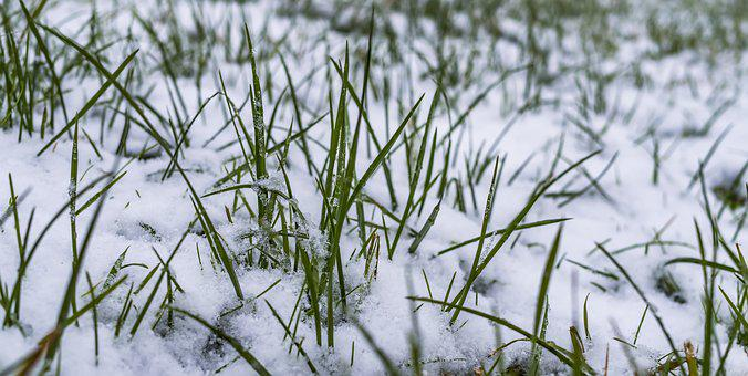 Grass, Winter, Snow, Frost, Cold, Grasses, Ice, Frozen