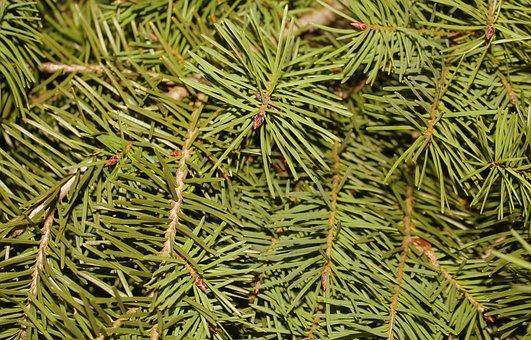 Christmas Tree, Conifers, Iglak, Needles, Twigs, Green