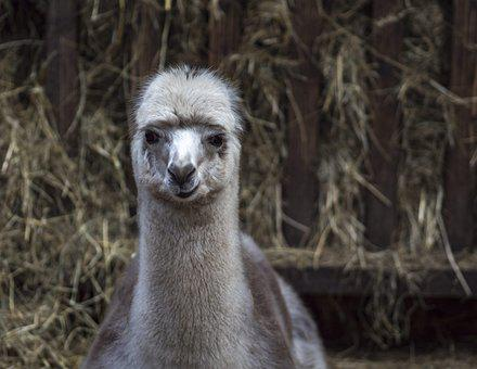 Lama, Lama Head, Alpaca, Animal, Fur, Peru