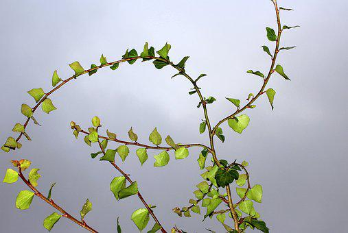 Ivy, Loose Branches, Leaf, Plant, Nature, Green