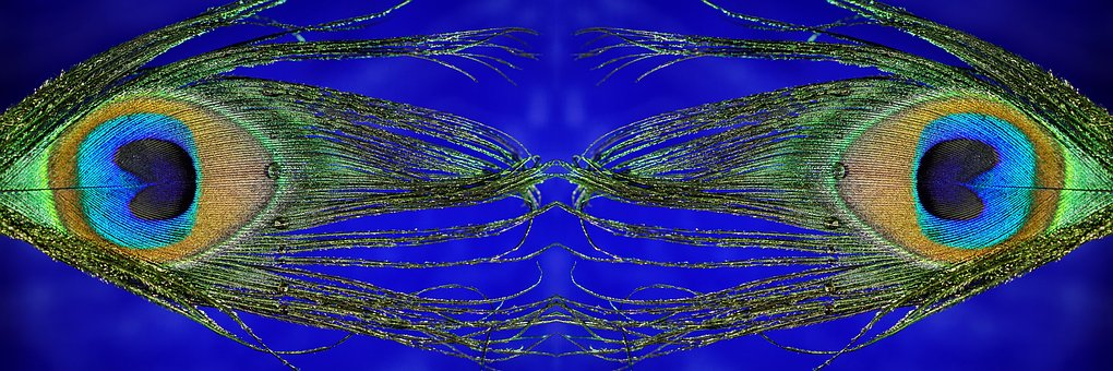 Peacock Feather, Mirrored, Macro, Panoramic Format