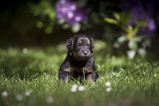Dog, Bitch, Howavart, Sheep Dog, Animal, Puppy, Cute