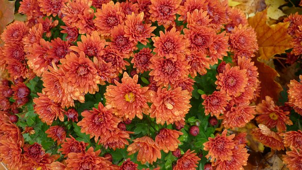 Flower, Aster, Blossom, Bloom, Red Brown, Autumn, Bed