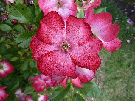 Pink, Rosebush, Rosary, Nature, Flower, Petal, Plant