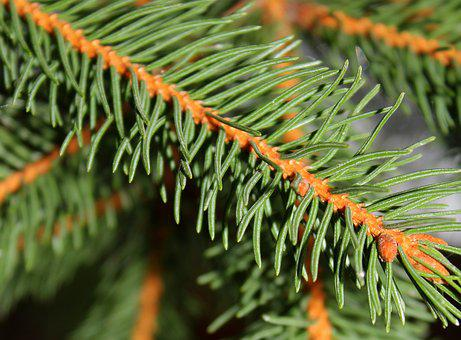 Spruce, Needles, Christmas, Twigs, Conifers
