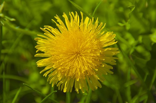Nature, Plant, Summer, Flower, No One, Dandelion, Grass