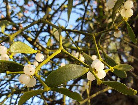 Mistletoe, Winter, Christmas, Nature, Berry, White