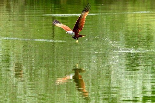 Red Hawk, Hawk, Bird, Hawk In Flight, Flying Hawk, Lake