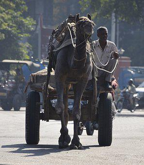 Camel, Cart, Transport, India, Pushkar, Working