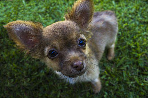 Chihuahua, Dog, Animals, Canines, Puppy, Profile Dog