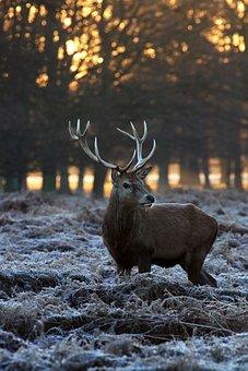 Deer, Winter, Nature, Reindeer, Wood, Wildlife, Stag