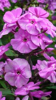 Phlox, Flower, Blossom, Bloom, Red, Garden, Summer