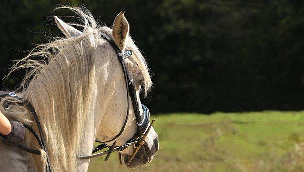 Horse, Pure Arab Blood, White, Head, Horseback Riding